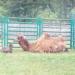 верблюдики
