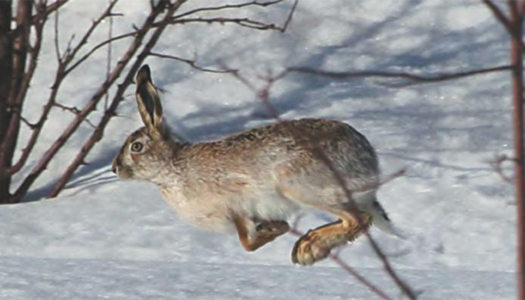 полювання на зайця